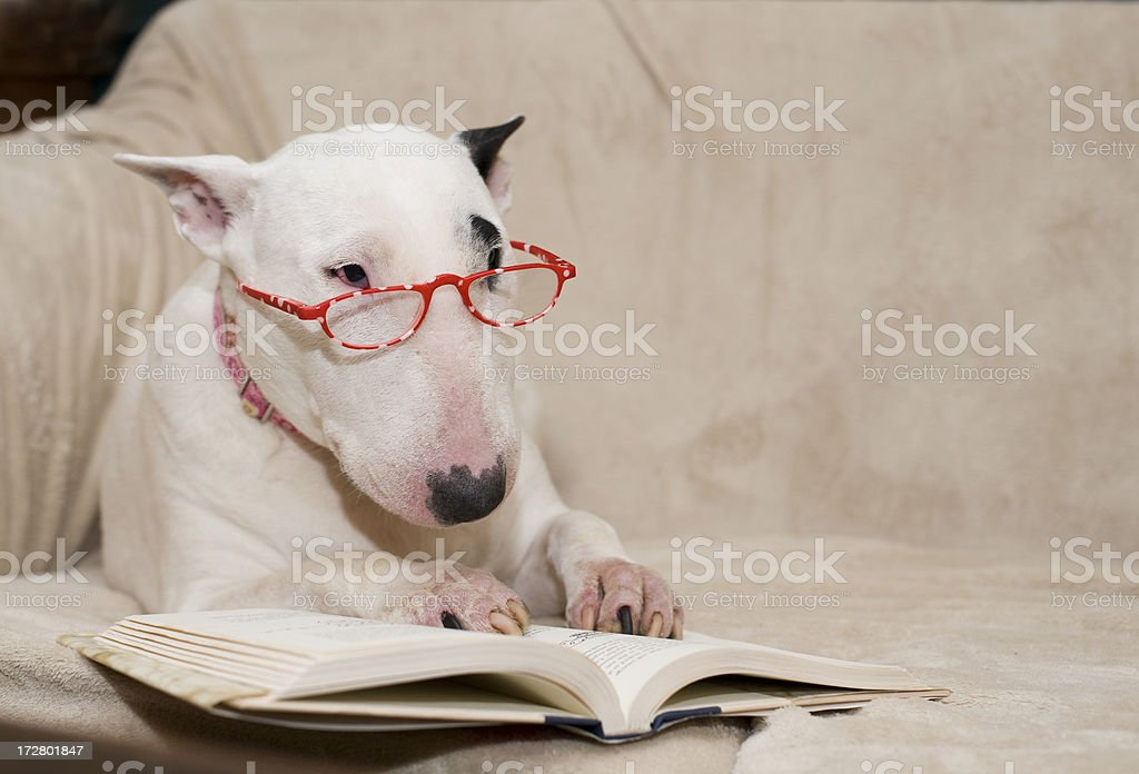 bull Terrier reading royalty-free stock photo