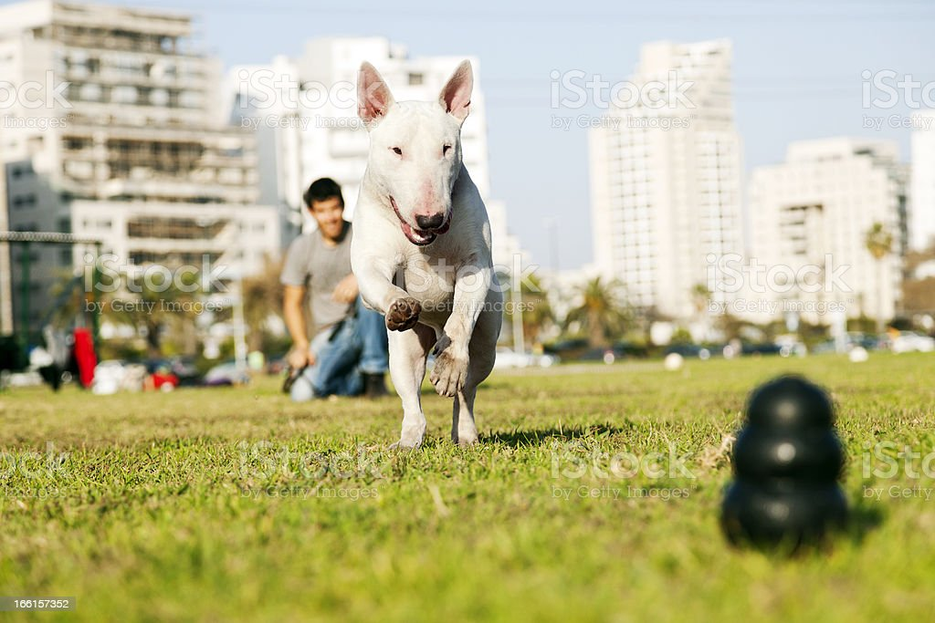 Bull Terrier Running for Chew Toy in Park royalty-free stock photo
