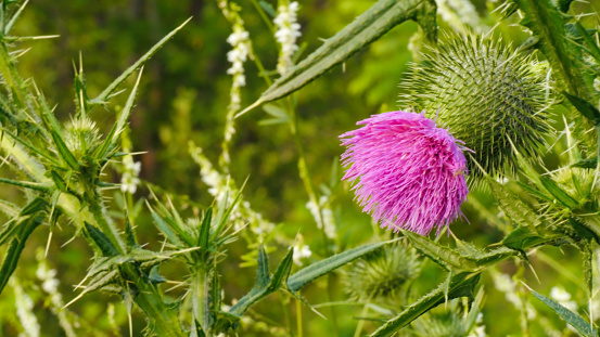Close-up of the pink flower on a wild bull thistle plant