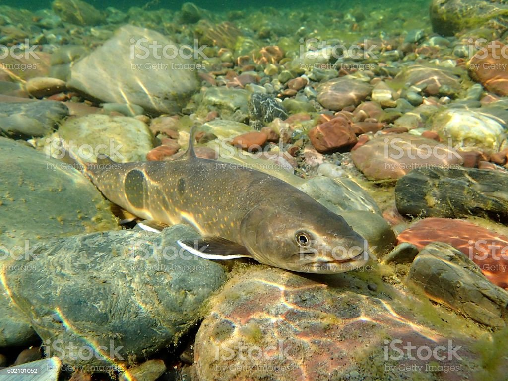 Bull Trout A Bull Trout swims in the Middle Fork of the Flathead River near Essex 2015 Stock Photo