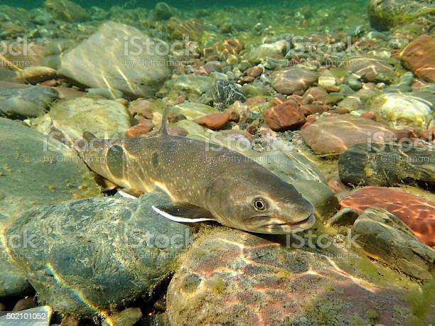 Bull Trout Stock Photo - Download Image Now