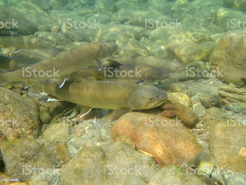 Bull Trout1 stock photo