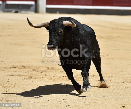 spanish bull with big horns in bullring