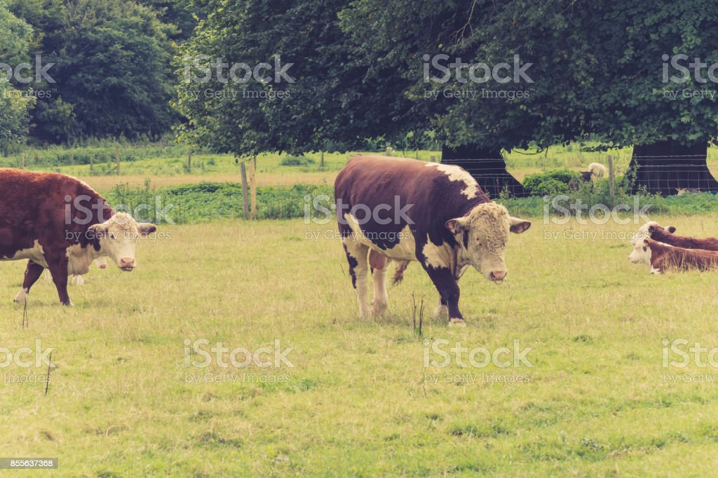 Bull  with family in farmers field close to lacock village,Wiltshire, England,  UK stock photo