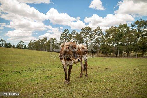 585090418 istock photo Bull with horns on organic Australian farm 920000856