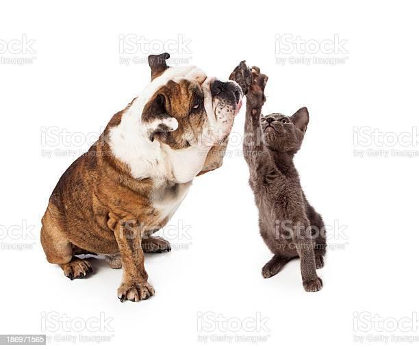 Bulldog and kitten high five picture id186971565?b=1&k=6&m=186971565&s=612x612&h=2tg1dppobh4fmeade9txmsdkvrum8vdezxxrpazg  i=