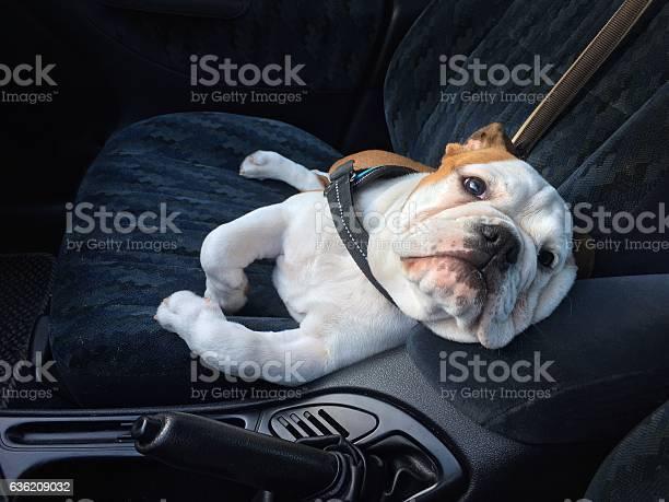 Bulldog as a funny comfortable car passenger picture id636209032?b=1&k=6&m=636209032&s=612x612&h=io7 tdgtobnrnmqp8iukwuovkzv7k9xuztamwvzitk4=