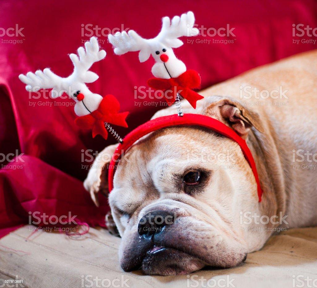 Bulldog asleep after Christmas stock photo