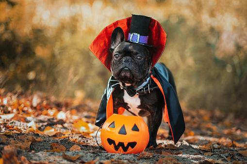 Bulldog dog in a dracula costume. Halloween vampire.