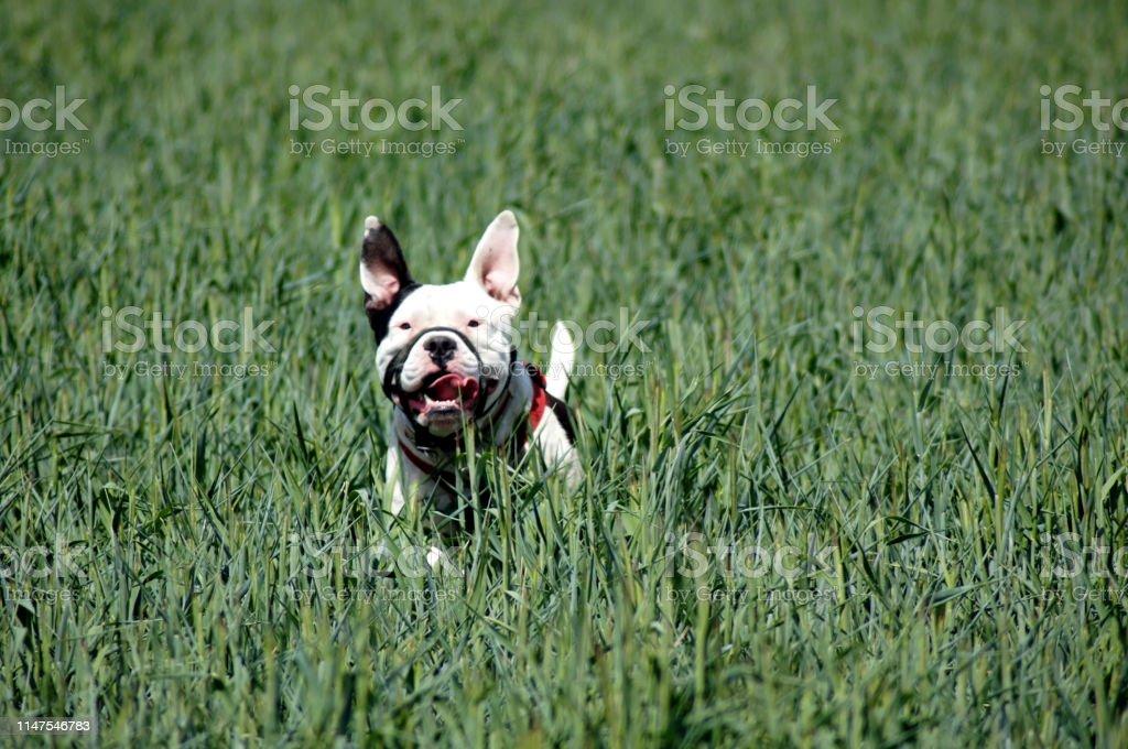 Bulldog dog runs free on the field