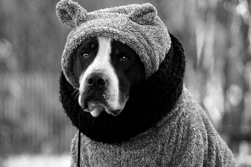 Black and white dog outside in winter wearing a hooded sweater with scarf.