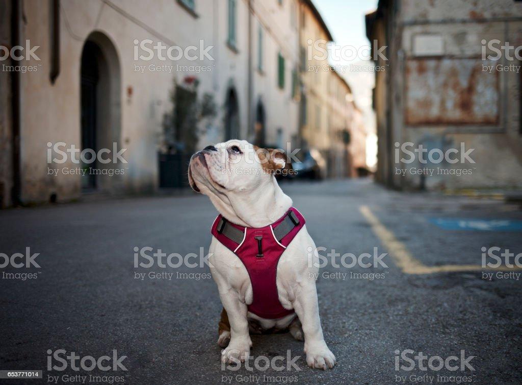 Bulldog in Tuscany looks around stock photo
