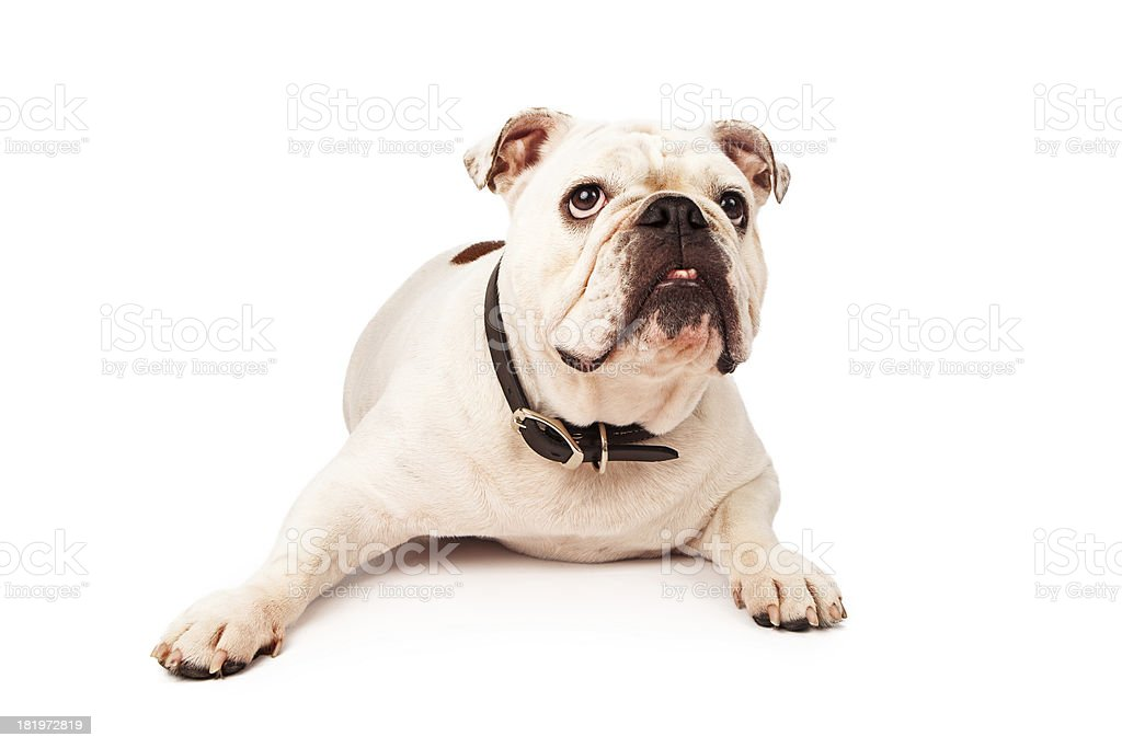 Bulldog Laying Looking Up royalty-free stock photo