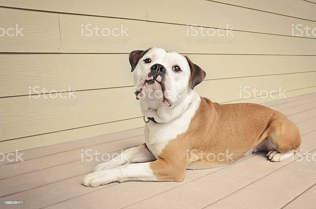 Bulldog laying on an outdoor patio stock photo
