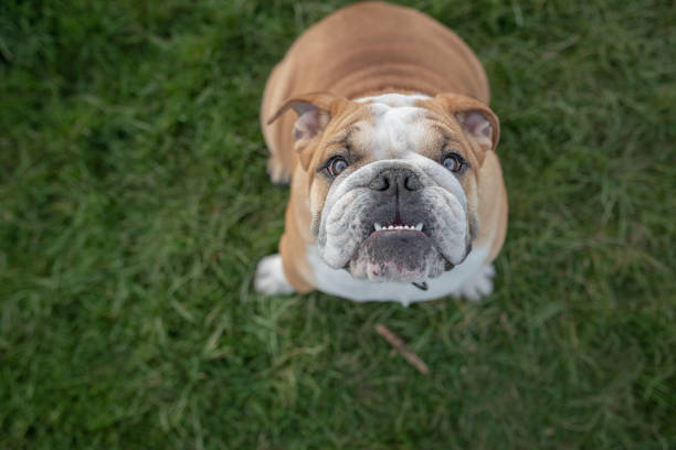 Bulldog looking up at camera Cute young bulldog with underbite looking happily up towards owner while sitting obediently in the grass bulldog stock pictures, royalty-free photos & images