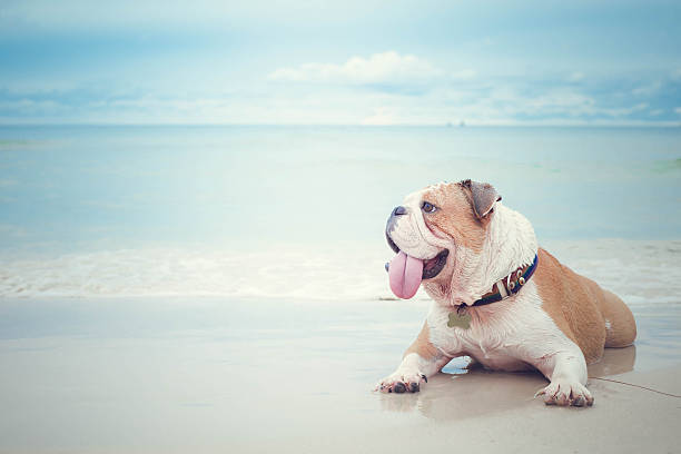 bulldog lying on the beach background bulldog lying on the beach background bulldog stock pictures, royalty-free photos & images