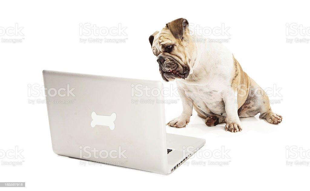 Bulldog on Computer royalty-free stock photo