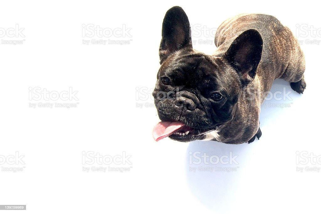 bulldog royalty-free stock photo