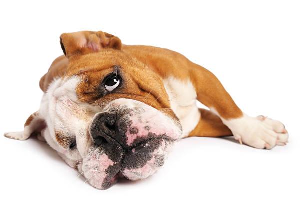 bulldogge - hunde träger stock-fotos und bilder