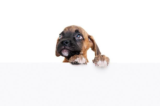 Bulldog picture id183058599?b=1&k=6&m=183058599&s=612x612&w=0&h=q u3ulbeb5vrhuyti1 ez980o7opi v bkeokmwf9du=
