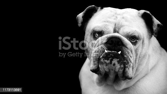 Bulldog portrait in black and white