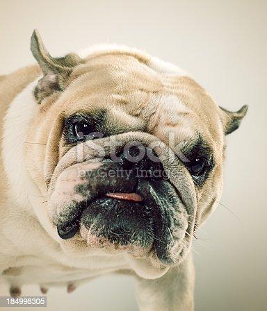 istock Bulldog portrait 184998305