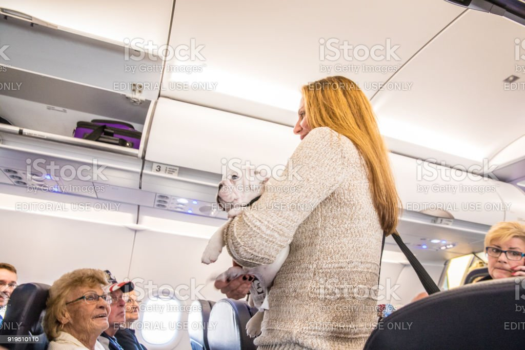 Bulldog puppy being held by owner as she finds her seat on an airplane stock photo