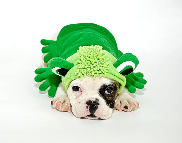 Bulldog Puppy in a Frog Outfit. stock photo