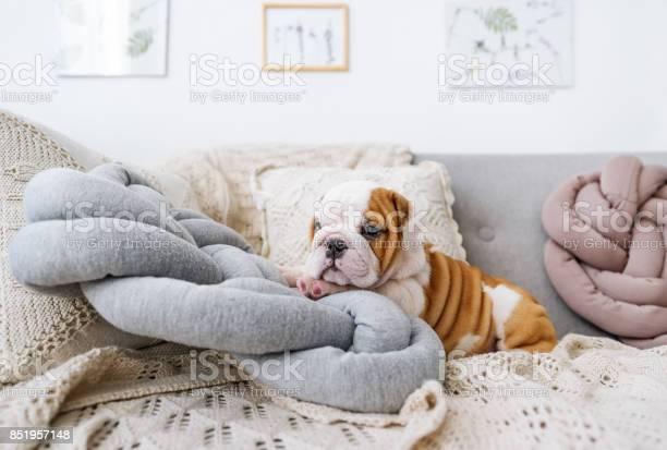 Bulldog puppy lying on the pillow picture id851957148?b=1&k=6&m=851957148&s=612x612&h=xqseny7pouscoy8epvbccsasbj3ztyvby6ukgezotbo=