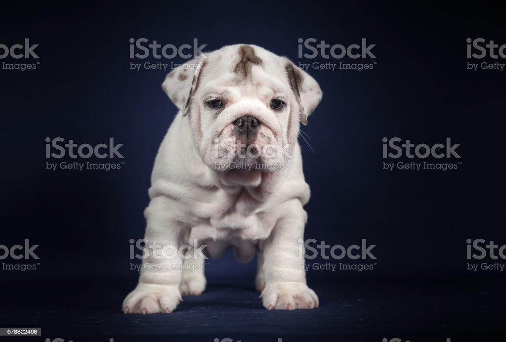 ENGLISH Bulldog puppy on dark background royalty-free stock photo