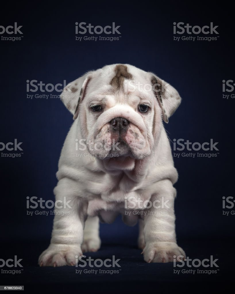 ENGLISH Bulldog puppy on dark background royalty-free stock photo