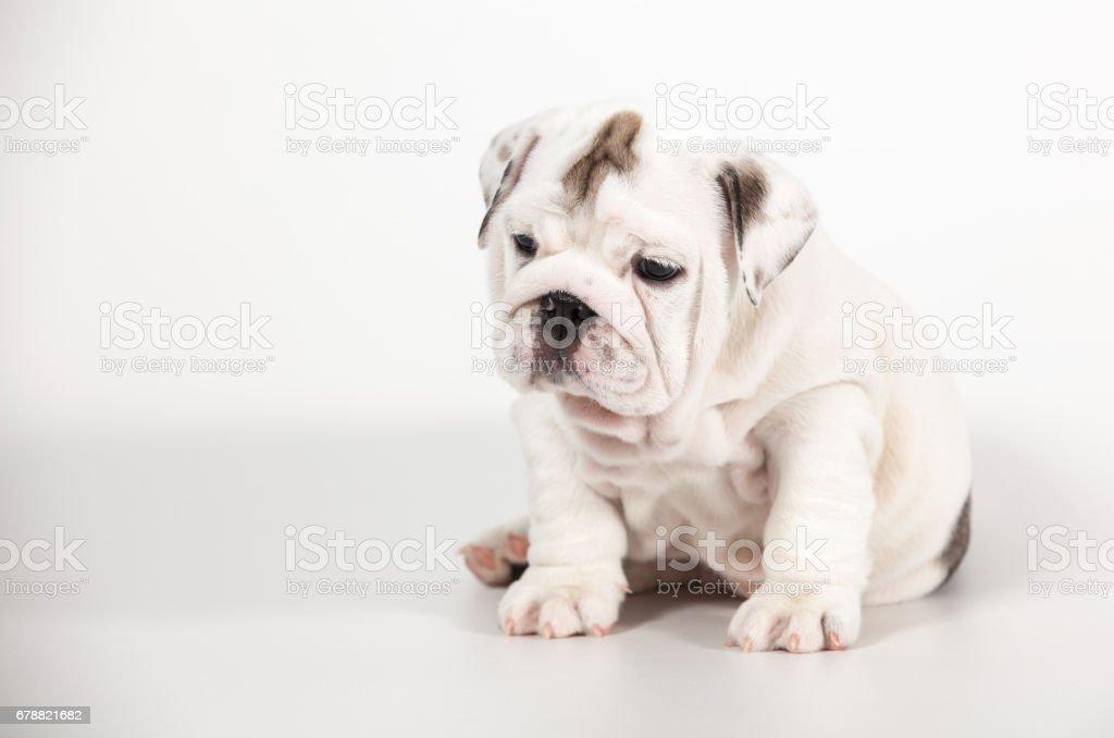 English Bulldog Puppy On White Background Stock Photo