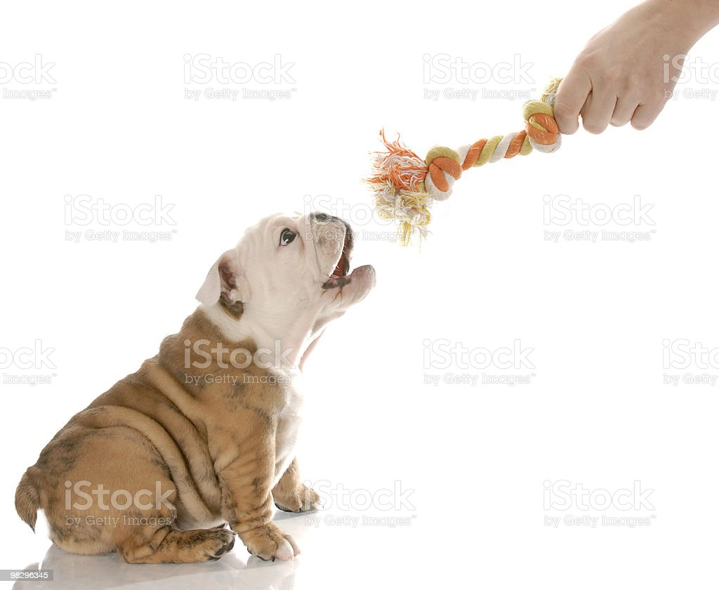 Bulldog puppy playing with rope toy stock photo
