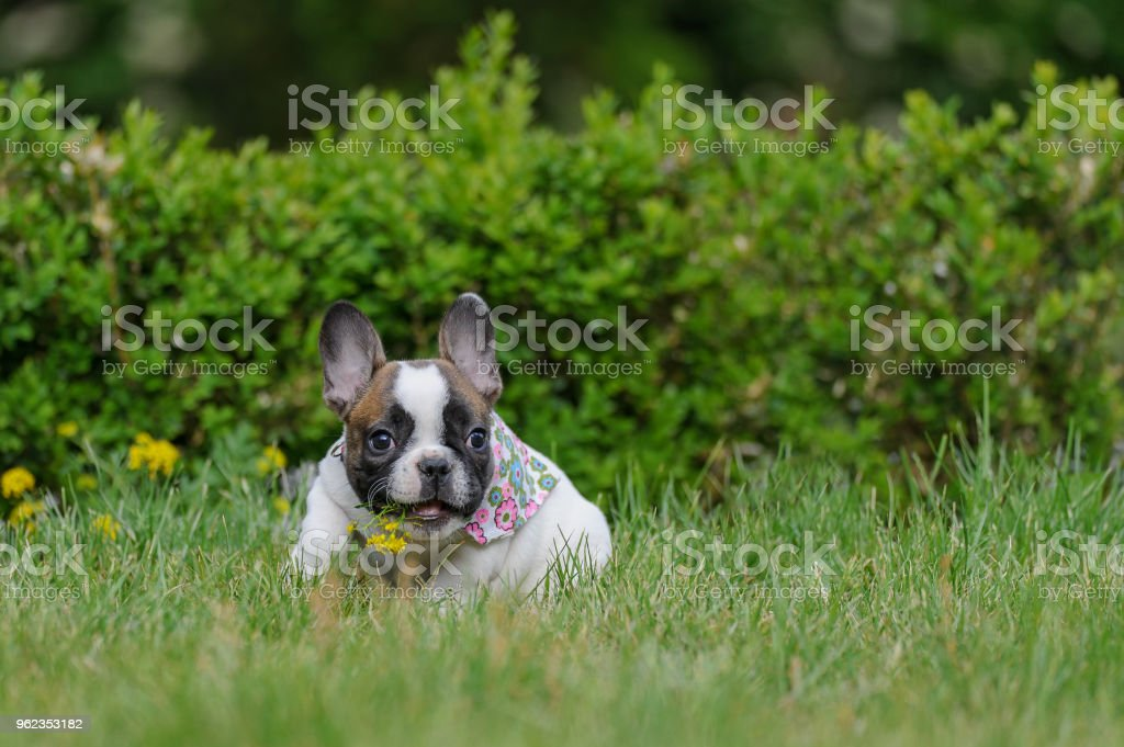 Bulldogge Welpen mit gelber Blume im Mund offen. Niedliche bester Freund. – Foto