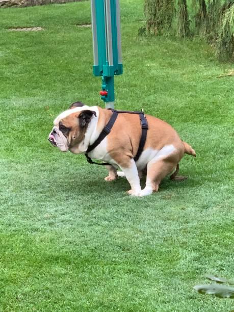 Bulldogge sitzt auf der Wiese – Foto