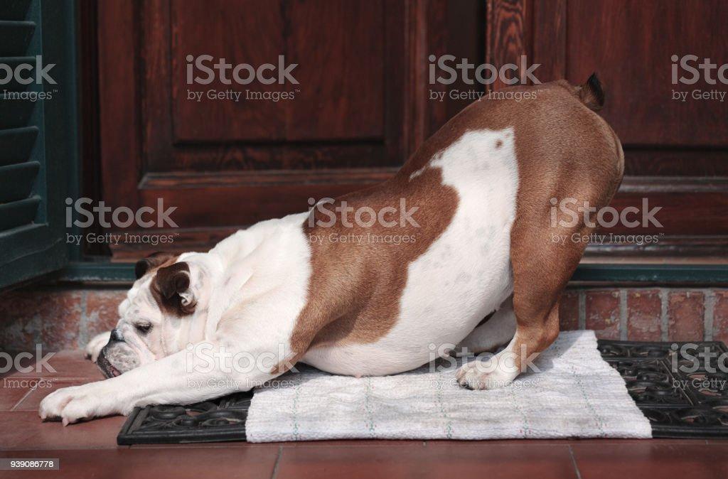 bulldog stretches a yoga pose at the doorstep stock photo