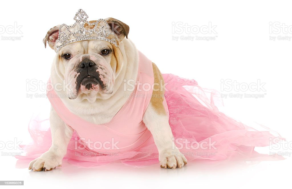Bulldog wearing pink fluffy dress and crown stock photo
