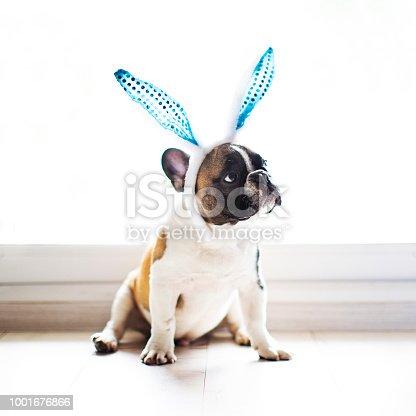 Bulldog with rabbit ears