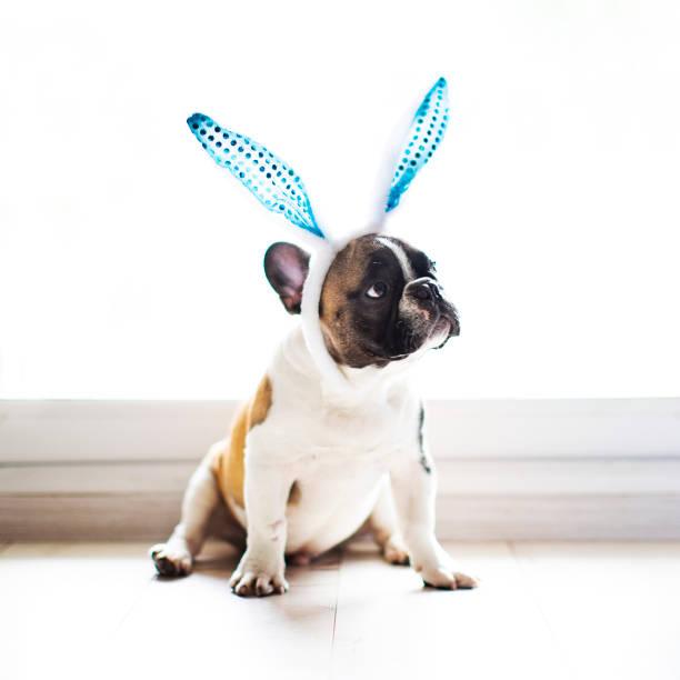 Bulldog with rabbit ears stock photo