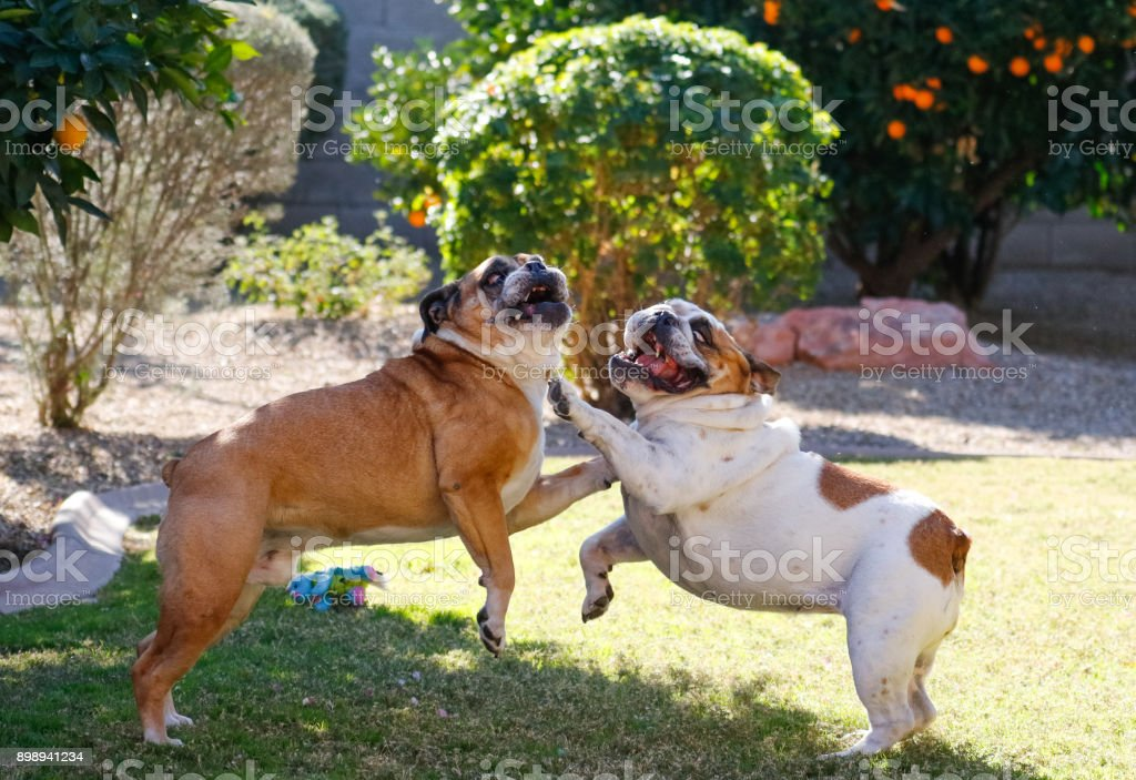Bulldogs playing stock photo