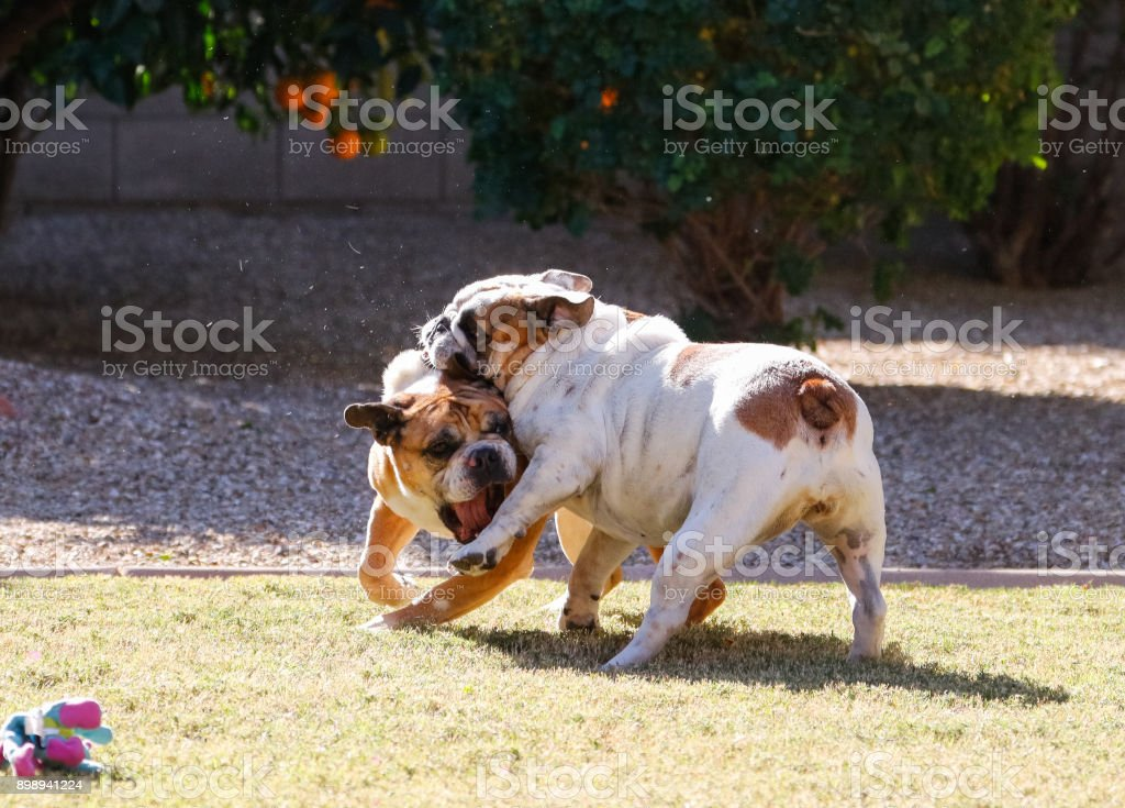 Bulldogs wrestling stock photo