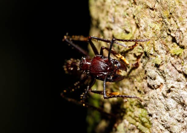 Bullet Ant stock photo