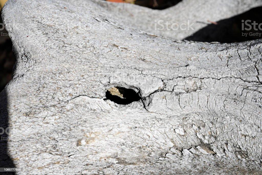 Bullet hole in skull of white rhinoceros Ceratotherium simum stock photo