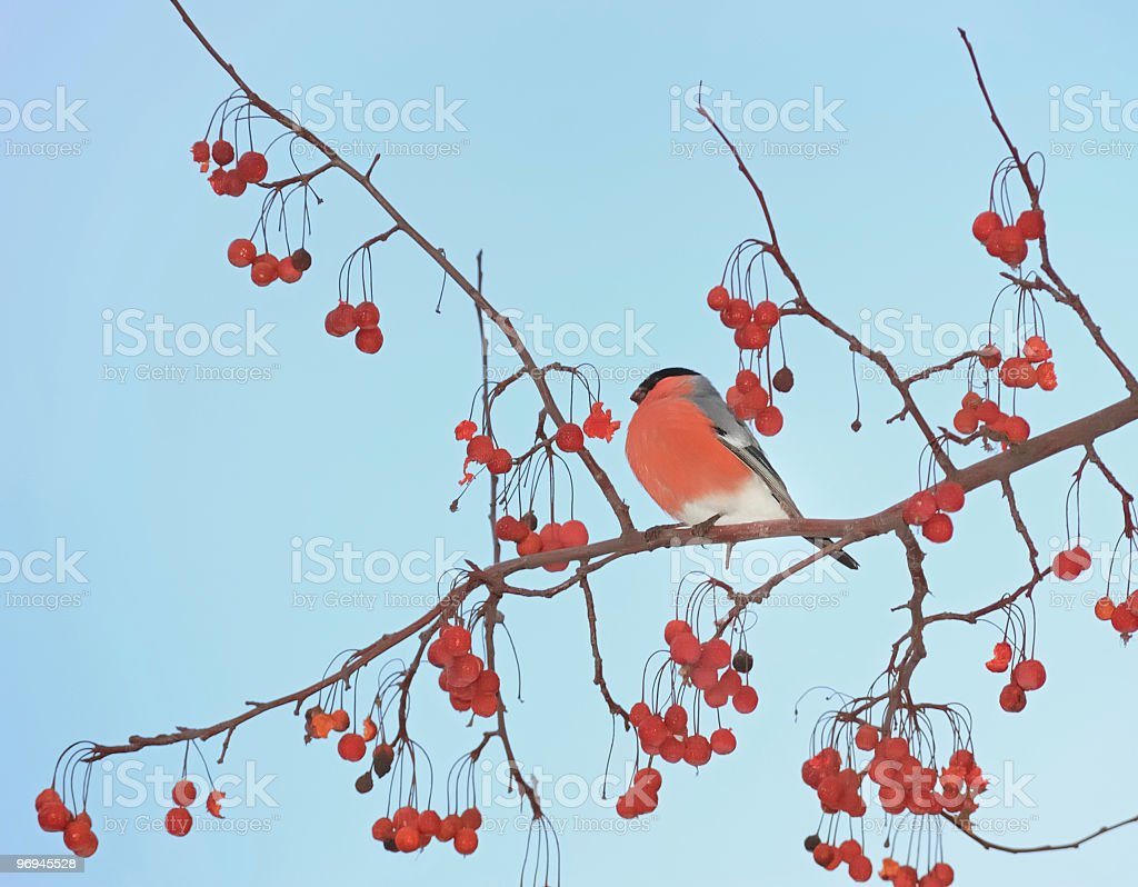 Bullfinch against the backdrop of blue sky royalty-free stock photo