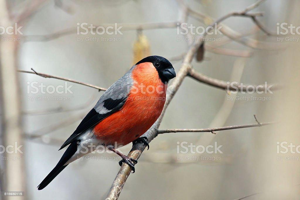 Bullfinch in forest stock photo