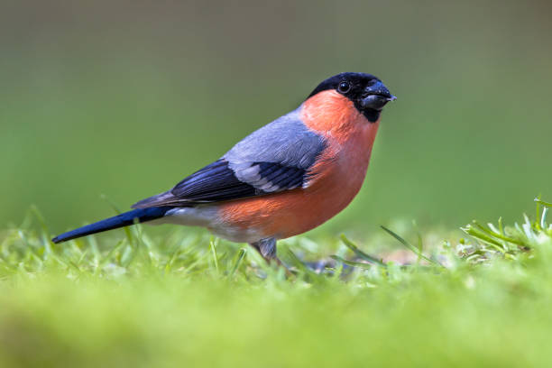 Bullfinch in lawn Bullfinch (Pyrrhula pyrrhula) looking for food in a grass field in an ecological natural garden. finch stock pictures, royalty-free photos & images