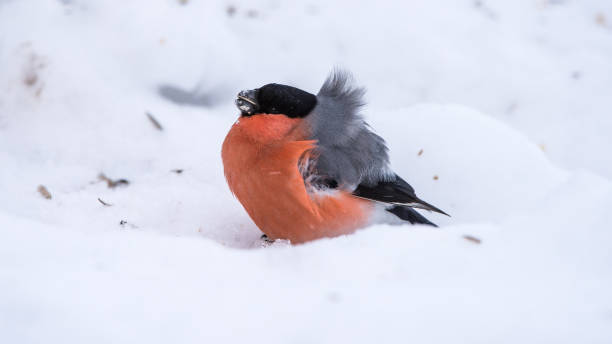 Bullfinch on the snow a very windy day stock photo