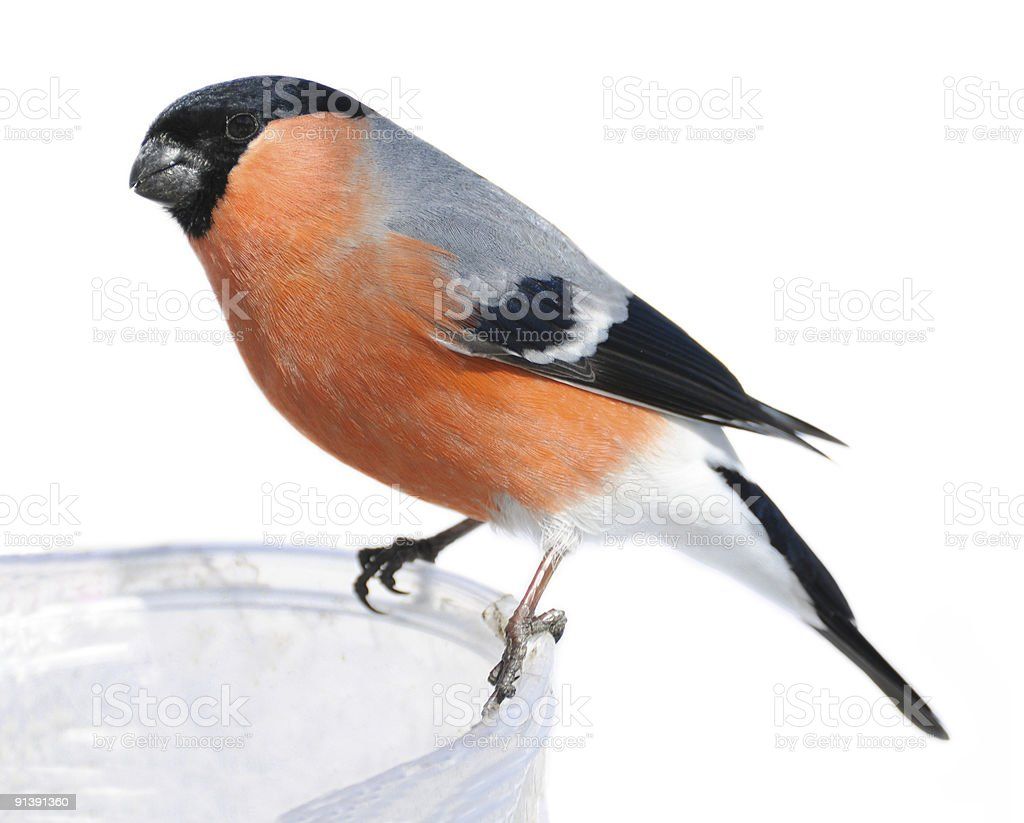 bullfinch (isolated) royalty-free stock photo