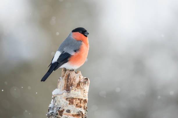 goudvink, pyrrhula pyrrhula - ornithologie stockfoto's en -beelden