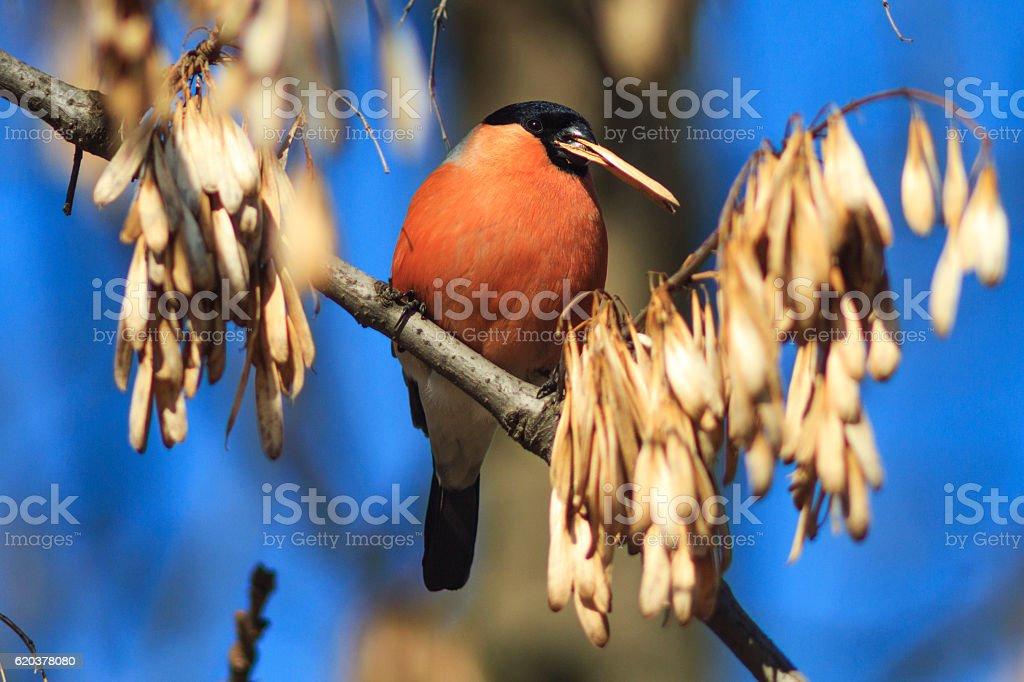 bullfinch sits on a branch and eating seeds zbiór zdjęć royalty-free